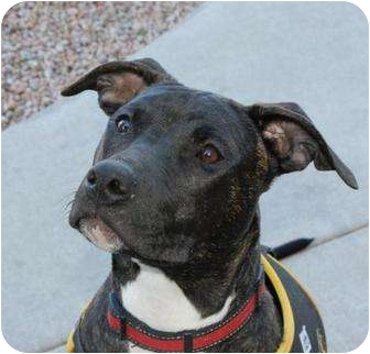 American Pit Bull Terrier Mix Puppy for adoption in Mesa, Arizona - Bentley