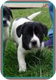 Border Collie/Beagle Mix Puppy for adoption in Washington, D.C. - Oreo