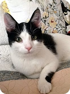 American Shorthair Cat for adoption in Xenia, Ohio - Timmy