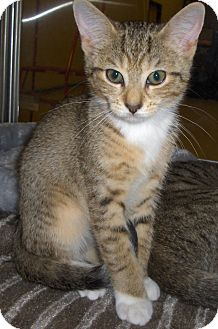 Domestic Shorthair Kitten for adoption in Richmond, Virginia - Cashew