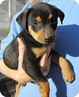Miniature Pinscher Mix Puppy for adoption in West Columbia, South