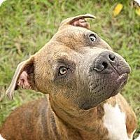 Adopt A Pet :: Brody - Des Peres, MO