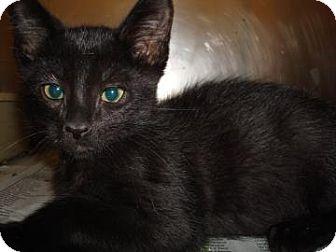 Domestic Shorthair Cat for adoption in Miami, Florida - Oscar