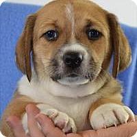 Adopt A Pet :: Sherman - Minneapolis, MN