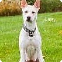 Adopt A Pet :: Daisy2 - Cedar Rapids, IA