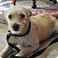 Adopt A Pet :: Max the Terrier - Phoenix, AZ