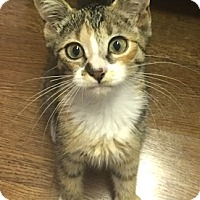 Adopt A Pet :: Zoey-Calico Tabby Kitten - Philadelphia, PA