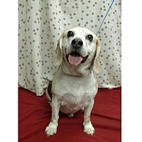 Beagle Mix Dog for adoption in Waldorf, Maryland - Capone Hughes
