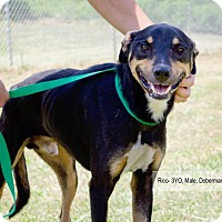 Adopt A Pet :: Rico - Sherman, CT