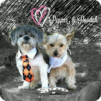 Yorkie, Yorkshire Terrier/Shih Tzu Mix Dog for adoption in Seattle, Washington - Pepper and Poodah Pls read  >