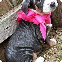 Adopt A Pet :: Leia - Kimberton, PA
