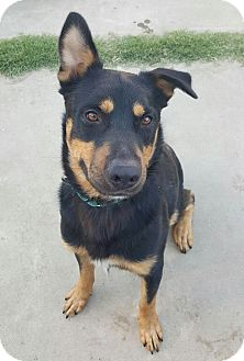 Rottweiler Mix Dog for adoption in Sacramento, California - Keeper!