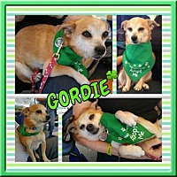 Chihuahua Mix Dog for adoption in Scottsdale, Arizona - Gordie
