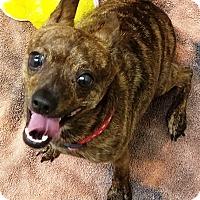 Chihuahua Mix Dog for adoption in Kalamazoo, Michigan - Tigger