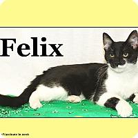 Adopt A Pet :: Felix - Cuba, MO