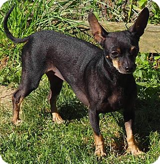Chihuahua Dog for adoption in Stockport, Ohio - Cocoa Bean