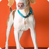 Adopt A Pet :: BENJI - Roanoke, VA