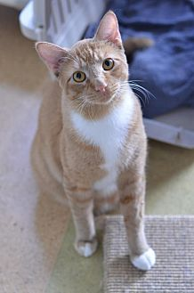 Domestic Shorthair Cat for adoption in Atlanta, Georgia - Tango Mango	161260