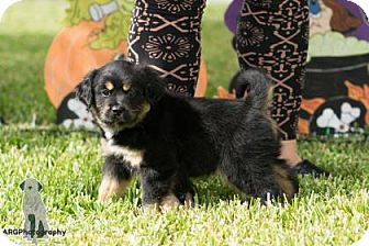Terrier (Unknown Type, Small)/Pug Mix Puppy for adoption in Santa Fe, Texas - Aurora