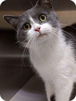 Domestic Shorthair Cat for adoption in THORNHILL, Ontario - Rori