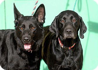 Labrador Retriever Dog for adoption in Pottsville, Pennsylvania - Raven