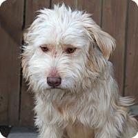 Adopt A Pet :: Pepsi - Los Angeles, CA