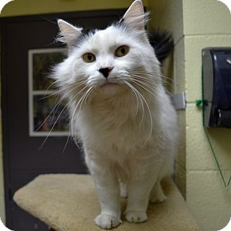 Domestic Longhair Cat for adoption in Wheaton, Illinois - Myles