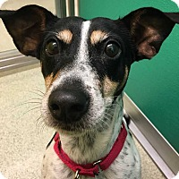 Rat Terrier/Jack Russell Terrier Mix Dog for adoption in New York, New York - Winter