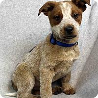 Adopt A Pet :: LAMAR - Westminster, CO