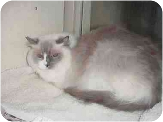 Ragdoll Cat for adoption in Keizer, Oregon - Belle