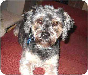 Yorkie, Yorkshire Terrier/Poodle (Miniature) Mix Dog for adoption in Conroe, Texas - Bam Bam