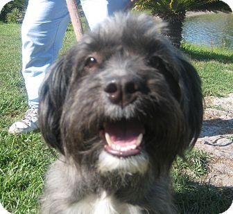 Lhasa Apso/Border Terrier Mix Dog for adoption in Orange Park, Florida - Chloe