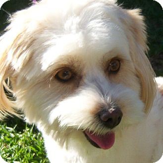 Bichon Frise Mix Dog for adoption in La Costa, California - Missy