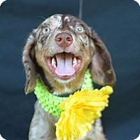 Adopt A Pet :: Francesca - Plano, TX