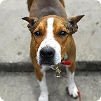 Adopt A Pet :: Harper - Detroit, MI