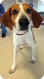 Beagle Mix Dog for adoption in Lake City, Florida - Bristol