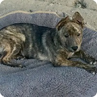 Boxer/German Shepherd Dog Mix Puppy for adoption in Long Beach, California - Jessie