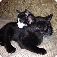 Adopt A Pet :: COCO PUFF aka Kuro - Hamilton, NJ