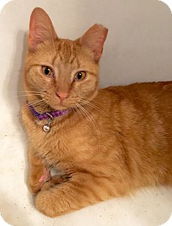 Domestic Shorthair Cat for adoption in Plantsville, Connecticut - Petunia