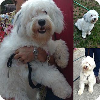 Tibetan Terrier Mix Dog for adoption in Minneapolis, Minnesota - Maggie