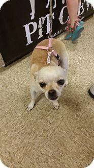 Chihuahua/Pug Mix Dog for adoption in Wichita Falls, Texas - Heidi