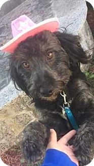 Bernese Mountain Dog/Poodle (Miniature) Mix Dog for adoption in E. Greenwhich, Rhode Island - Maggie