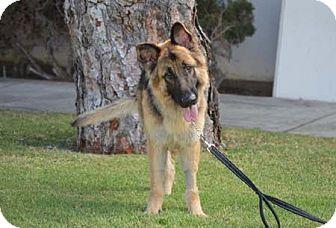 German Shepherd Dog Dog for adoption in Mira Loma, California - Durango