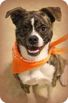 Boston Terrier Mix Dog for adoption in Flagstaff, Arizona - Stanley
