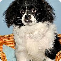 Adopt A Pet :: Bennie - Gatineau, QC