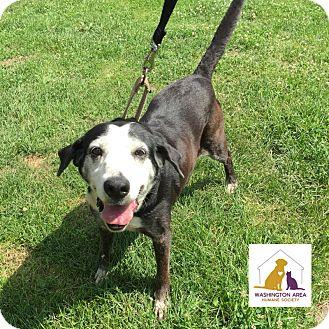 Labrador Retriever Mix Dog for adoption in Eighty Four, Pennsylvania - Allie