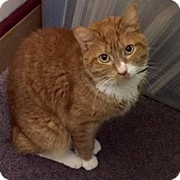 Manx Cat for adoption in Muskegon, Michigan - Julius   (Manx)