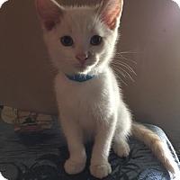 Adopt A Pet :: Celcius - Chandler, AZ