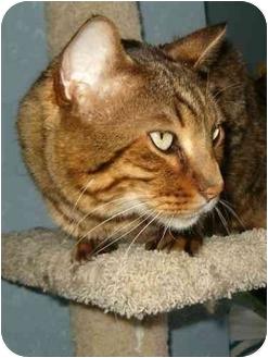 Bengal Cat for adoption in Keizer, Oregon - Benny spnosor me!
