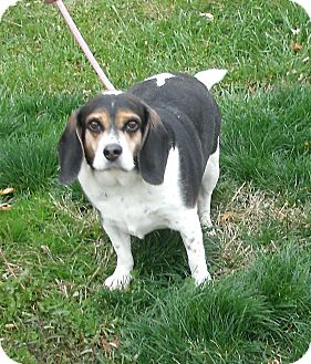 Beagle Dog for adoption in Toronto/Etobicoke/GTA, Ontario - Buster